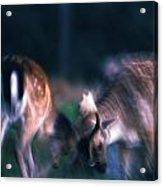 Fighting Fallow Deer Acrylic Print