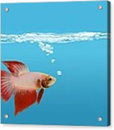 Fighting Fish Under Water Acrylic Print