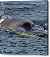 Fin Whale Charging Acrylic Print