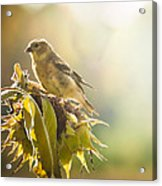 Finch Aglow Acrylic Print