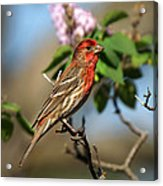Finch In Lilac Bush Acrylic Print