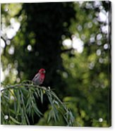Finch In The Willow Acrylic Print