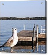 Finger Lake Gull Acrylic Print