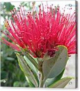 Fiore Rosso E Grasso Acrylic Print