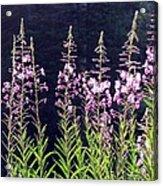 Fireweed Flowers Acrylic Print