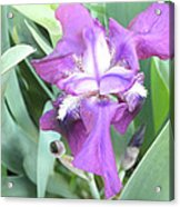First Iris Of The Spring Acrylic Print