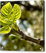 First Leaves And Fig  Acrylic Print