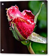 First Rose Acrylic Print