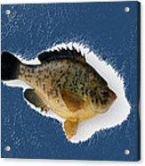 Fish Mount Set 08 C Acrylic Print