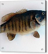 Fish Mount Set 10 A Acrylic Print