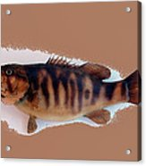 Fish Mount Set 11 B Acrylic Print