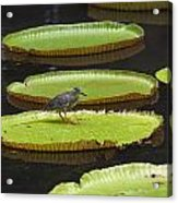 Fisher Bird On Giant Lily Pad In Pond Acrylic Print