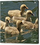 Five Baby Geese Swimming Acrylic Print