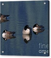 Five Geese Napping Acrylic Print