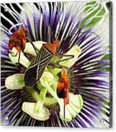 Flag-footed Bug Anisocelis Flavolineata Acrylic Print