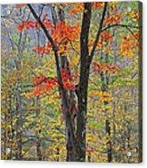 Flaming Fall Foliage Acrylic Print