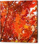 Flaming Maples Acrylic Print