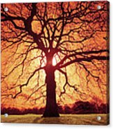 Flaming Oak Acrylic Print