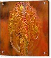 Flaming Sumac Acrylic Print