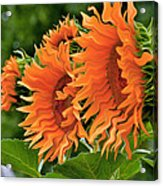 Flaming Sunflowers Acrylic Print