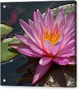 Flaming Waterlily Acrylic Print