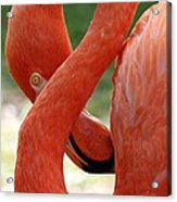 Flamingo Eight Acrylic Print
