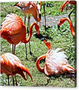 Flamingo Face-off Acrylic Print by Elizabeth Hart