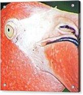 Flamingo Nose Acrylic Print