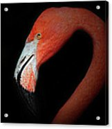 Flamingo Portrait Acrylic Print