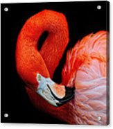 Flamingo Preening Acrylic Print