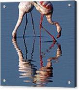 Flamingo Reflection Acrylic Print