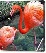 Flamingo River Walk Acrylic Print