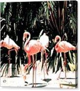 Flamingo Struts Acrylic Print