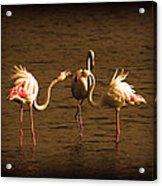 Flamingos Argue Acrylic Print
