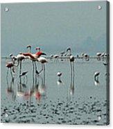Flamingos In Magadi Acrylic Print