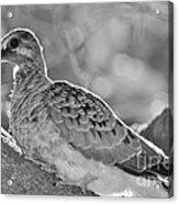 Fledgeling In Oak Tree Bw Acrylic Print by Lynda Dawson-Youngclaus