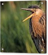 Fledgling Great Blue Heron Acrylic Print
