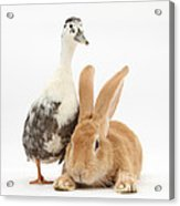 Flemish Giant Rabbit And Call Duck Acrylic Print