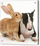 Flemish Giant Rabbit And Miniature Bull Acrylic Print