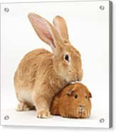 Flemish Giant Rabbit With Red Guinea Pig Acrylic Print