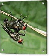 Flies Mating Acrylic Print