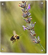 Flight Of The Bumble Acrylic Print