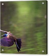 Flight Of The Grackle Acrylic Print