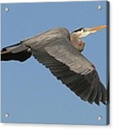 Flight Of The Great Blue Heron Acrylic Print