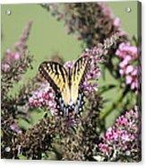 Flitter - Butterfly - Swallowtail Acrylic Print
