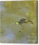 Floating Frog Acrylic Print