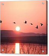 Flock Of Canada Geese Flying Acrylic Print by Ira Block
