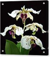 Flock Of Dendrobium Acrylic Print