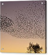 Flock Of European Starlings Acrylic Print