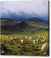 Flock Of Sheep Grazing In A Field Acrylic Print